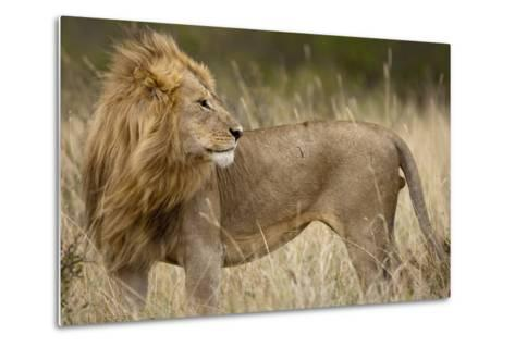 Adult Male Lion in Tall Grass in Masai Mara National Reserve--Metal Print