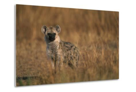 Spotted Hyena Pup--Metal Print