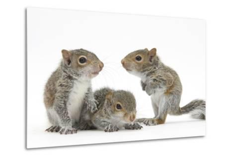 Grey Squirrels (Sciurus Carolinensis) Three Young Hand-Reared Portrait-Mark Taylor-Metal Print