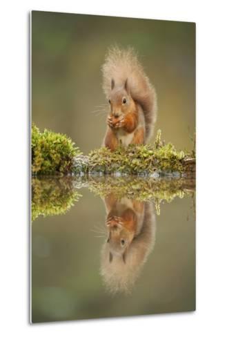 Red Squirrel (Sciurus Vulgaris) at Woodland Pool, Feeding on Nut, Scotland, UK, November-Mark Hamblin-Metal Print