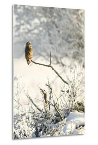Short-Eared Owl (Asio Flammeus) Perched on a Branch, Worlaby Carr, Lincolnshire, England, UK-Danny Green-Metal Print