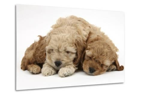 Two Golden Cockerpoo (Cocker Spaniel X Poodle) Puppies Sleeping-Mark Taylor-Metal Print