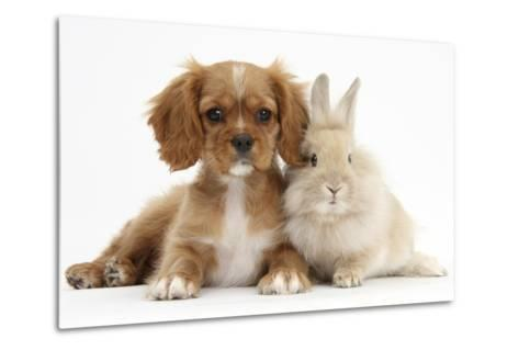 Cavalier King Charles Spaniel Puppy, Star, with Sandy Rabbit-Mark Taylor-Metal Print