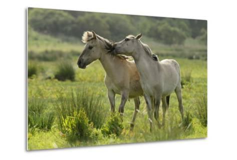Konik Horses Mutual Grooming, Wild Herd in Rewilding Project, Wicken Fen, Cambridgeshire, UK, June-Terry Whittaker-Metal Print
