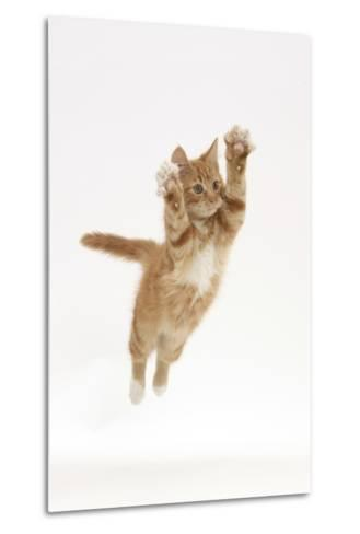 Ginger Kitten Leaping with Legs and Claws Outstretched-Mark Taylor-Metal Print