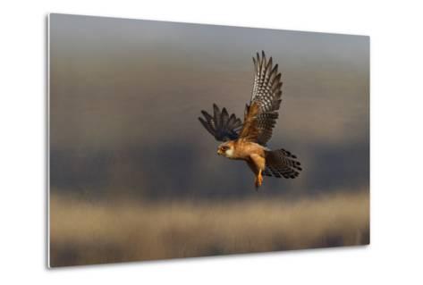 Red Footed Falcon (Falco Vespertinus) Hunting, Bagerova Steppe, Kerch Peninsula, Crimea, Ukraine-Lesniewski-Metal Print