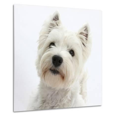 Portrait of a West Highland White Terrier-Mark Taylor-Metal Print