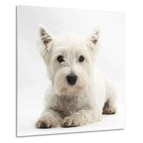 West Highland White Terrier Lying-Mark Taylor-Metal Print