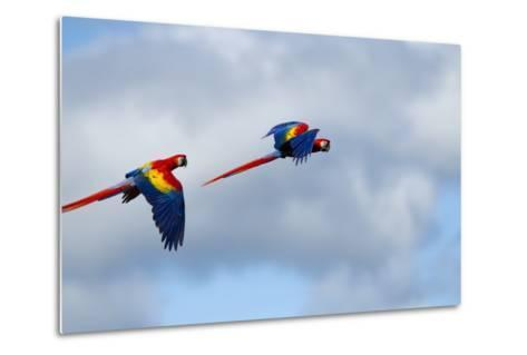 Scarlet Macaw, Costa Rica--Metal Print