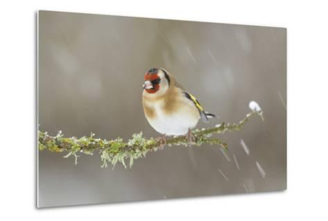 Goldfinch (Carduelis Carduelis) Perched on Branch in Snow, Scotland, UK, December-Mark Hamblin-Metal Print
