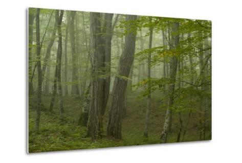 Forest with Beech Trees and Black Pines in Mist, Crna Poda Nr, Tara Canyon, Durmitor Np, Montenegro-Radisics-Metal Print