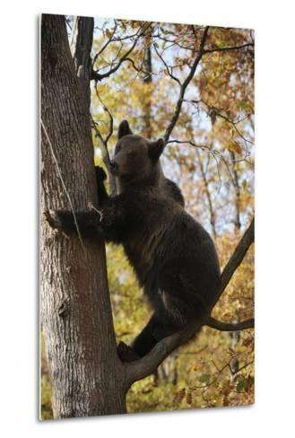 European Brown Bear (Ursus Arctos) in Tree, Captive, Private Bear Park, Near Brasov, Romania-D?rr-Metal Print