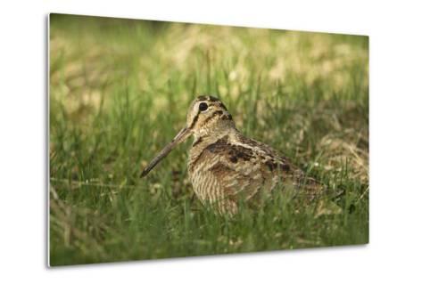 Woodcock (Scolopax Rusticola) Adult in Spring, Scotland, UK, April-Mark Hamblin-Metal Print