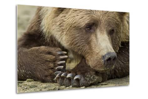 Resting Brown Bear, Katmai National Park, Alaska--Metal Print