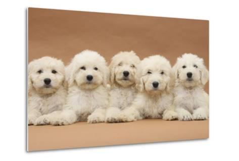 Five Labradoodle Puppies, 9 Weeks-Mark Taylor-Metal Print