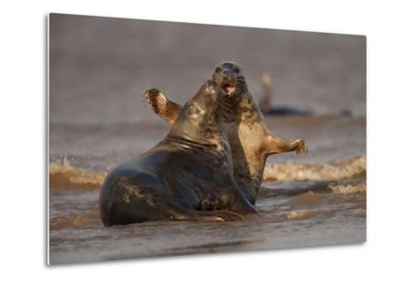 Grey Seals (Halichoerus Grypus) Fighting, Donna Nook, Lincolnshire, England, UK, October-Danny Green-Metal Print