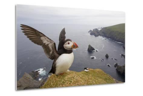 Atlantic Puffin (Fratercula Artica) Adult on Breeding Cliffs. Hermaness Nnr, Shetland, UK, June-Mark Hamblin-Metal Print