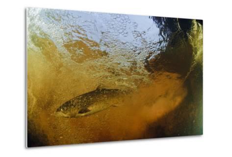 Brown Trout (Salmo Trutta) in Turbulent Water at a Weir, River Ettick, Selkirkshire, Scotland, UK-Linda Pitkin-Metal Print