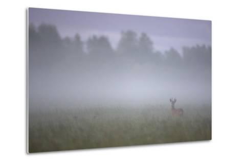 Roe Deer (Capreolus Capreolus) Buck in Wet Meadow at Dawn, Nemunas Delta, Lithuania, June 2009-Hamblin-Metal Print