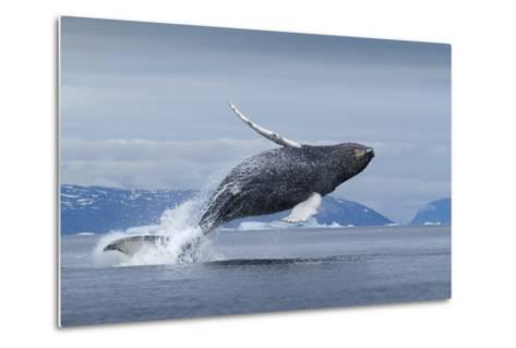 Humpback Whale Calf Breaching in Disko Bay in Greenland--Metal Print