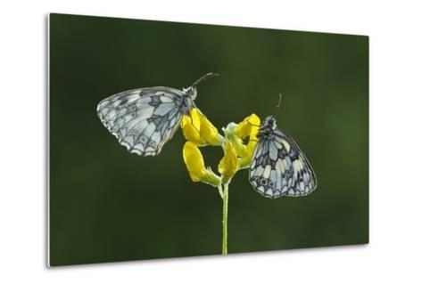 Two Marbled White Butterflies Resting on Meadow Vetchling, Powerstock Common Dwt Reserve, UK-Guy Edwardes-Metal Print