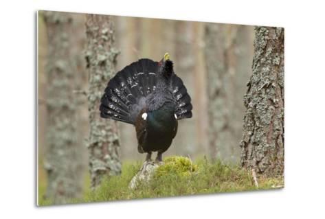 Capercaillie (Tetrao Urogallus) Adult Male Displaying. Cairngorms Np, Scotland, February-Mark Hamblin-Metal Print