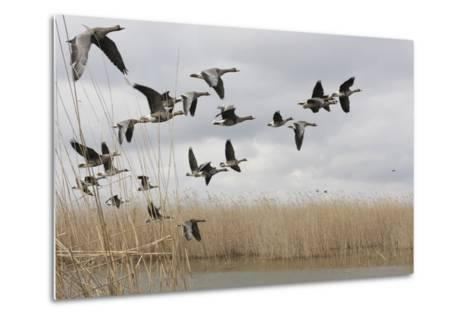 White Fronted Geese (Anser Albifrons) in Flight, Durankulak Lake, Bulgaria, February 2009-Presti-Metal Print