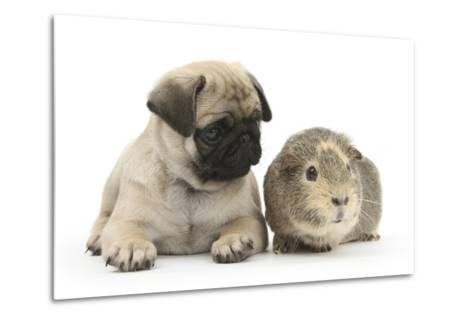Fawn Pug Puppy, 8 Weeks, and Guinea Pig-Mark Taylor-Metal Print