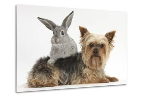 Yorkshire Terrier and Young Silver Rabbit-Mark Taylor-Metal Print