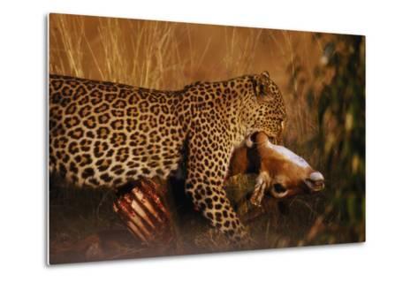 Leopard with Impala Kill--Metal Print