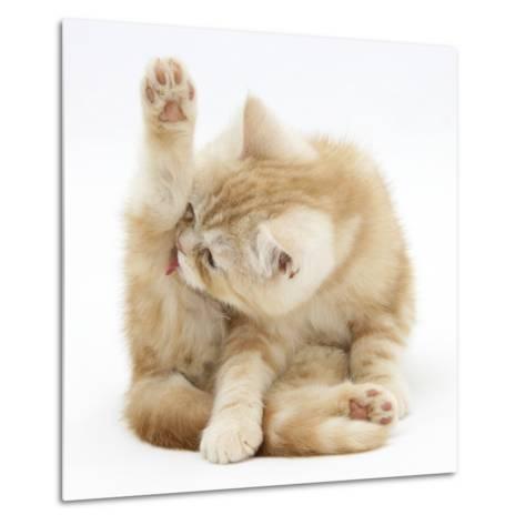 Ginger Kitten 'Funnel-Grooming'-Mark Taylor-Metal Print