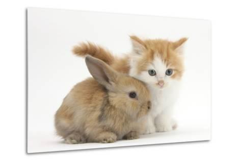 Ginger-And-White Kitten Baby Rabbit-Mark Taylor-Metal Print