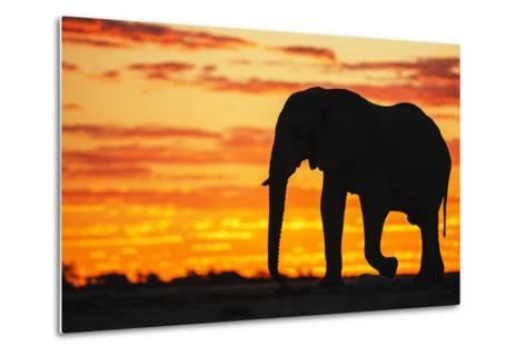 A Silhouette of a Large Male African Elephant Against a Golden Sunset-Jami Tarris-Metal Print