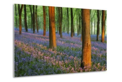 Carpet of Bluebells (Endymion Nonscriptus) in Beech (Fagus Sylvatica) Woodland at Dawn, UK-Guy Edwardes-Metal Print