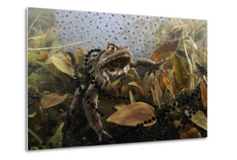 Common Toad (Bufo Bufo) in a Pond, with Toad Spawn and Frogspawn, Coldharbour, Surrey, UK-Linda Pitkin-Metal Print