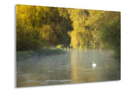 Mute Swan (Cygnus Olor) on the River Itchen at Dawn, Ovington, Hampshire, England, UK, May-Guy Edwardes-Metal Print