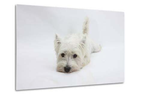 West Highland White Terrier Lying Stretched Out with Her Chin on the Floor-Mark Taylor-Metal Print