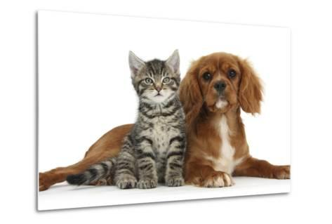 Tabby Kitten, Fosset, 8 Weeks Old, Sitting with Ruby Cavalier King Charles Spaniel Bitch, Star-Mark Taylor-Metal Print
