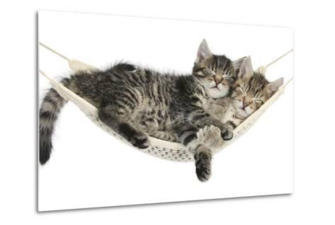 Two Cute Tabby Kittens, Stanley and Fosset, 7 Weeks, Sleeping in a Hammock-Mark Taylor-Metal Print