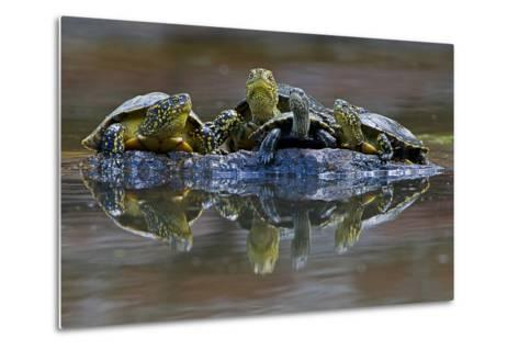 Three European Pond Turtles (Emys Orbicularis) and a Balkan Terrapin on Rock, Butrint, Albania-Geidemark-Metal Print
