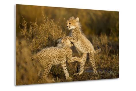 Playing Cheetah Cubs-Paul Souders-Metal Print