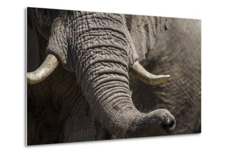 Bull Elephant Trunk and Tusks, Makgadikgadi Pans National Park, Botswana-Paul Souders-Metal Print