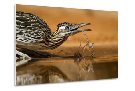 Starr County, Texas. Greater Roadrunner Drinking at Pond-Larry Ditto-Metal Print