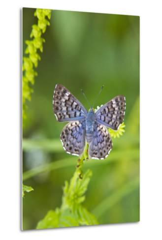 Cameron County, Texas. Blue Metalmark Butterfly Nectaring, Heliotrope-Larry Ditto-Metal Print