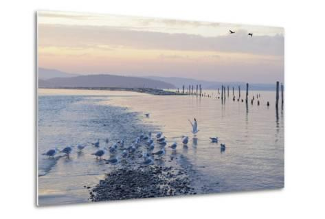 Canada, B.C, Sidney Island. Gulls at Sunset, Gulf Islands National Park Reserve-Kevin Oke-Metal Print