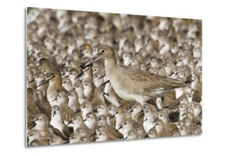 Willet with Shell in its Bill Surrounded by Western Sandpipers-Hal Beral-Metal Print