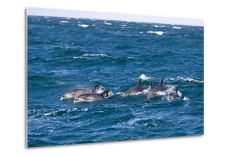 Common Dolphin Pod (Delphinus Capensis)-Reinhard Dirscherl-Metal Print