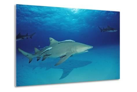Lemon Shark, Negaprion Brevirostris, Bahamas, Grand Bahama Island, Atlantic Ocean-Reinhard Dirscherl-Metal Print