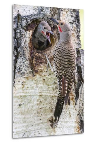Wyoming, Northern Flicker Feeding Chick at Cavity Nest in Aspen Tree-Elizabeth Boehm-Metal Print