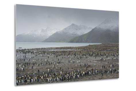 South Georgia. Saint Andrews. View of the Huge King Penguin Colony-Inger Hogstrom-Metal Print